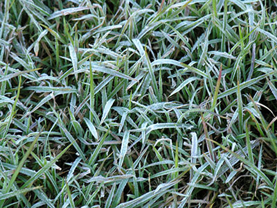 Turfgrass covered in frost