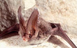 A light brown furry bat with humorously large ears laying on its stomach on a cream cloth