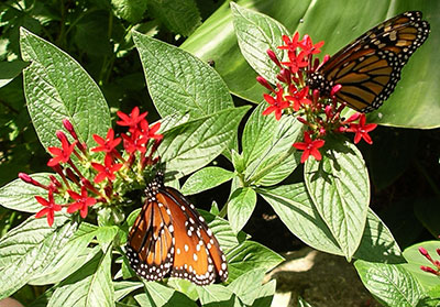 butterflies on pentas - Florida Butterfly Garden
