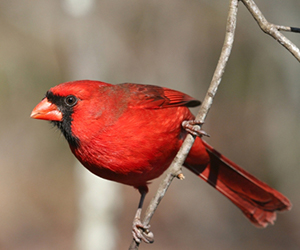 Red bird on a pine branch