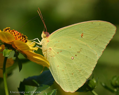 Male cloudless sulphur butterfly