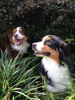 Two Australian shepherds hanging out in the shrubs