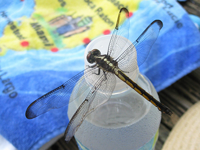 A large black and white dragonfly resting on a bottle of water
