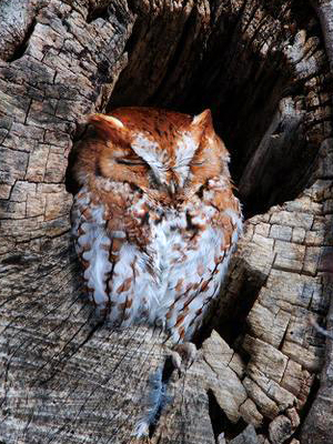 Brown and white owl with its eyes closed, sitting in a hole in a tree