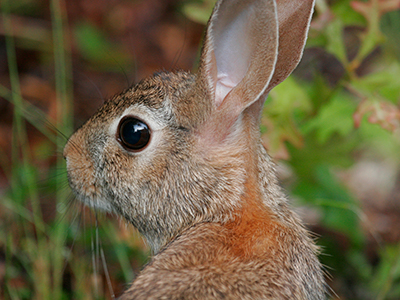 Photo Eastern cottontail rabbit by Thomas Wright, UF