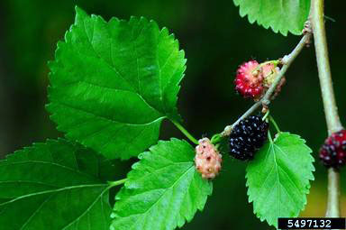 native red mulberry foliage and berries