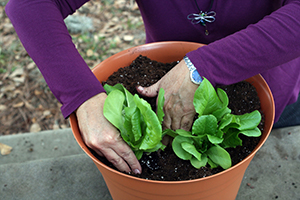 hands planting the baby lettuces in the container