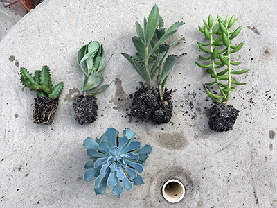 Five different succulent plants with soil still attached to the roots, laying on a table