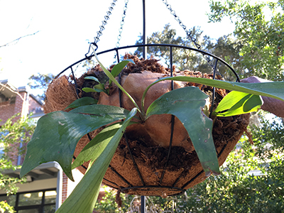 The basket with staghorn fern now hanging from a pole.
