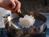 Hand starting to dip white camellia blossom into a pot of melted wax