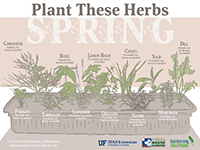 A graphic showing herbs to plant in spring