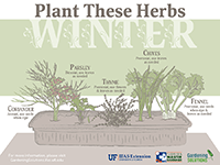 Herbs to plant in winter graphic