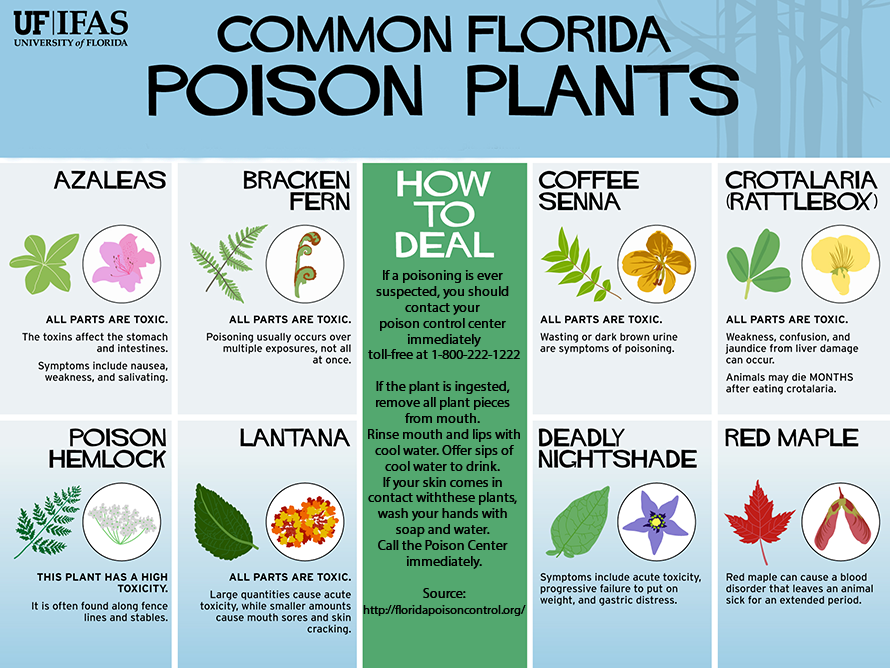 Infographic showing common toxic plants in Florida, such as azaleas, bracken fern, coffee senna, crotalaria, poison hemlock, lantana, deadly nightshade, red maple