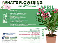 A graphic showing Florida trees that flower in April