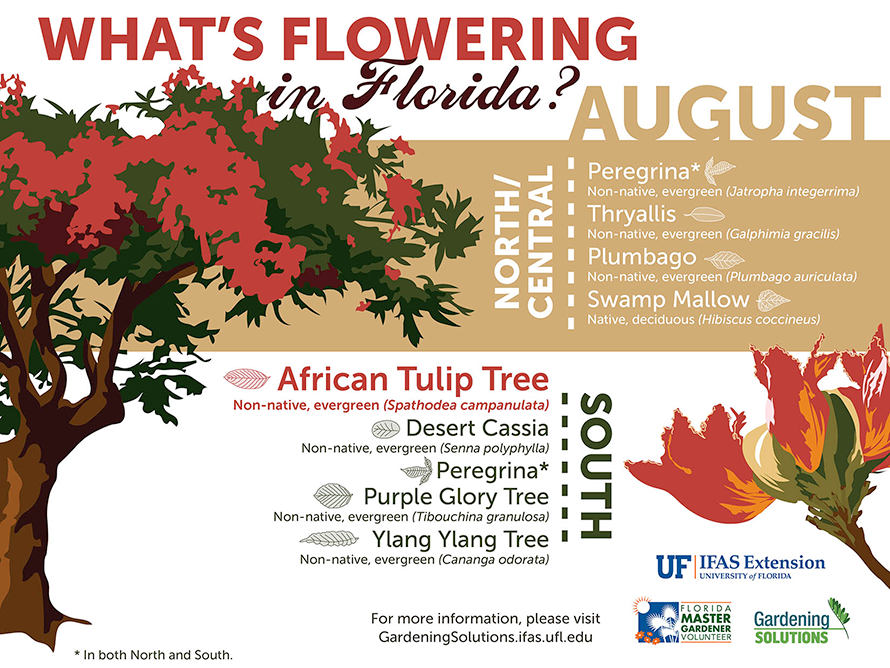 Infographic listing plants that are flowering here in June: thryallis, plumbago, and swamp mallow in North and Central Florida, and African tulip tree, desert cassia, purple glory tree, and ylang ylang tree in the South, plus jatropha throughout the state.