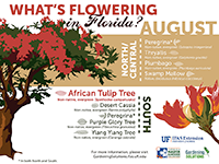 A graphic showing Florida trees that flower in August