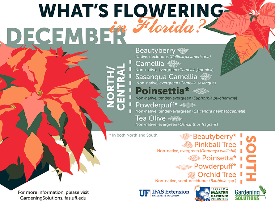 Infographic listing plants that are flowering here in Florida in December