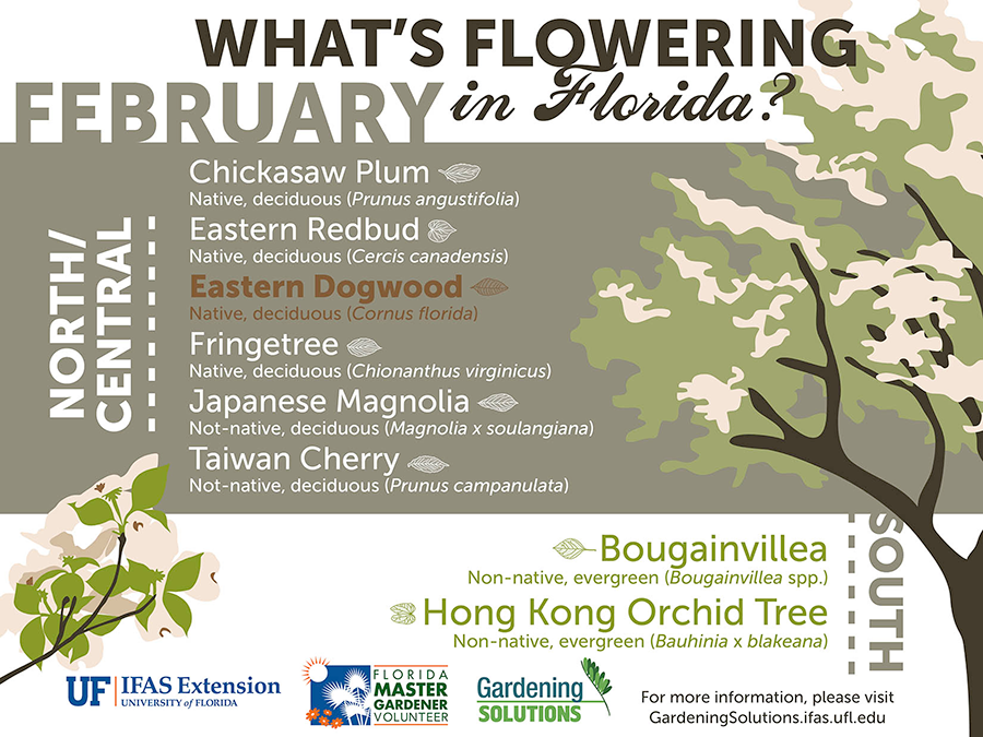 Infographic listing plants that are flowering here in January: chickasaw plum, eastern redbud, eastern dogwood, fringetree, Japanese magnolia, and Taiwan cherry in North and Central Florida, and in South Florida, bougainvillea and Hong Kong orchid tree.