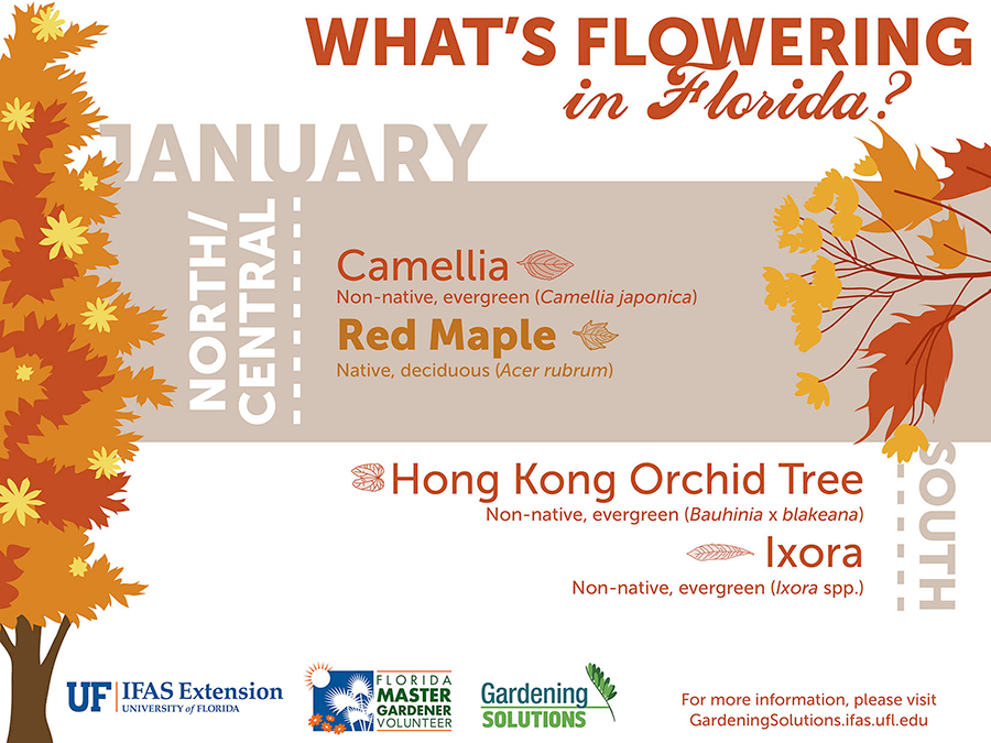 Infographic listing plants that are flowering here in Florida in January