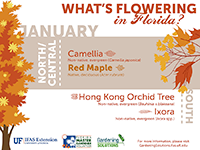 A graphic showing flowering trees in January for Florida