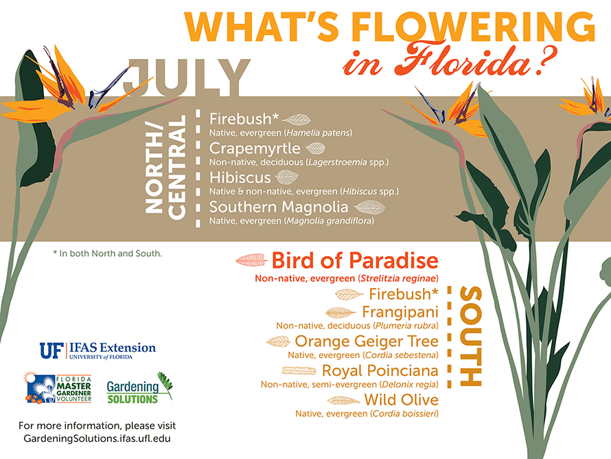 Infographic listing plants that are flowering here in Florida: Firebush throughout the state, crapemyrtle, hibiscus, and Southern magnolia in North and Central Florida, and bird of paradise, frangipani, orange geiger tree, royal poinciana, and wild olive in South Florida