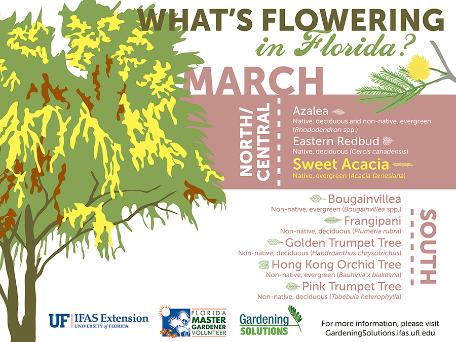 Infographic listing plants that are flowering here in March: in North and Central Florida it's azaleas, eastern redbuds, and sweet acacia, while in South Florida it's bougainvillea, frangipani, golden trumpet tree, Hong Kong orchid tree, and pink trumpet tree