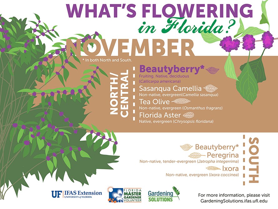 Infographic listing plants that are flowering here in Florida in November: sasanqua camellia and tea olive in North and Central Florida, firecracker in South Florida, and beautyberry, sasanqua camellia, Mexican sunflower, and ornamental sugarcane through the state.
