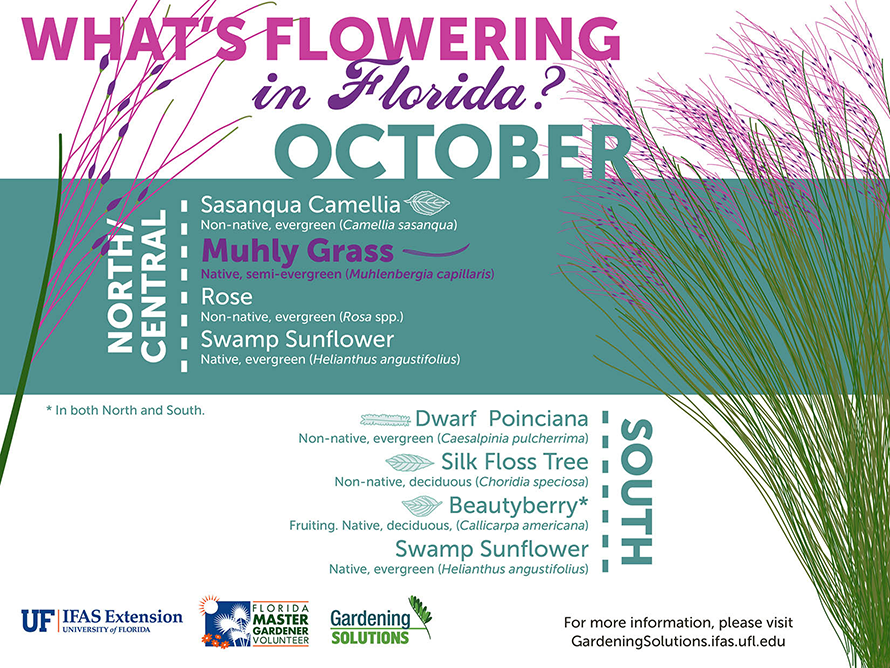 Infographic listing plants that are flowering here in October: camellias and Muhly grass in North and Central Florida, beautyberry and butterfly bush throughout the state, and bush allamanda and silk floss tree in South Florida