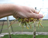 A hand holding a fistful of diseased grass