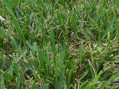 A poorly mowed St. Augustinegrass lawn