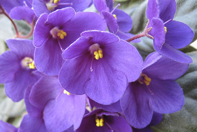 Close up photo of African violets