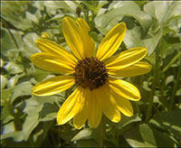 Beach sunflower is a perennial