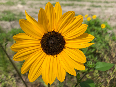 Beach sunflower university of florida institute of food and yellow petaled flower with deep brown center mightylinksfo
