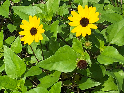 Beach sunflower university of florida institute of food and planting and care two yellow flowers surrounded bright green leaves in the sun mightylinksfo