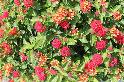 Shrub with light green pointed leaves, covered with clusters of mainly reddish-pink flowers