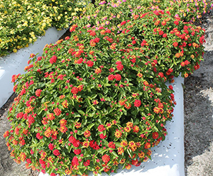 Mounded plants of lantana with  clusters of mainly reddish-pink flowers