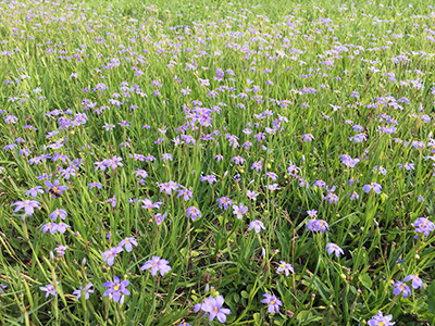 A large swath of grass covered in small violet-blue flowers
