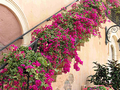Bougainvillea with hot pink flowers growing up the railing of an outdoor staircase on a Spanish style house.
