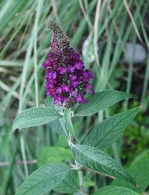 Puple buddleia flower
