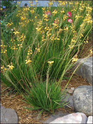 Bulbine with yellow flowers at Epcot