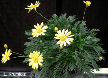 Bush Daisy University Of Florida Institute Of Food And