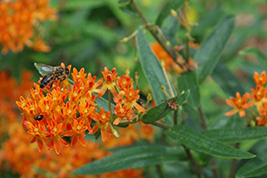 Orange butterfly weed flowers with bee