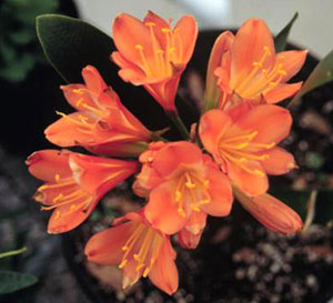 Orange clivia flowers