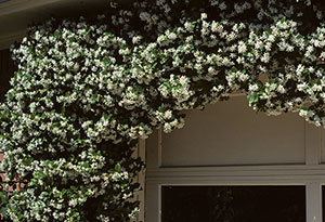 Confederate Jasmine Growing In An Arch
