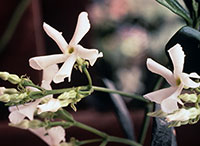 Close view of Confederate jasmine flower