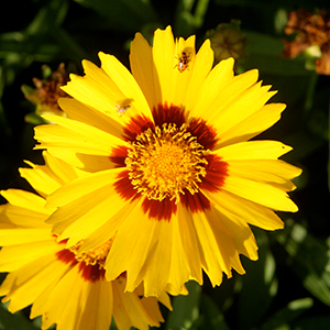 Coreopsis flower photo by Thomas Wright, UF/IFAS