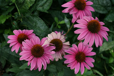 Purple conflowers or echinacea