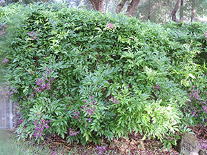 Large evergreen wisteria plant growing on a fence