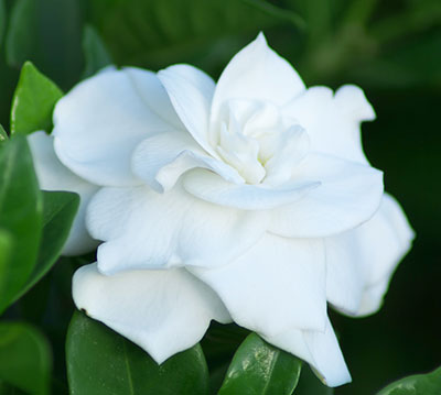 gardenias  university of florida, institute of food and, Natural flower