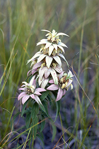Close view of the white flowerlike bracts of horsemint